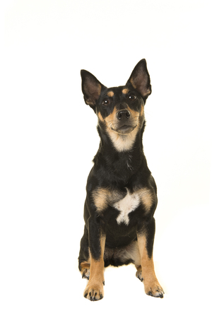 Pretty black and tan jack russel dog sitting and looking up isolated on a white background