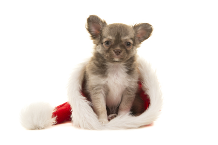 Cute chihuahua puppy sitting in Santas hat looking at the camera on a white background