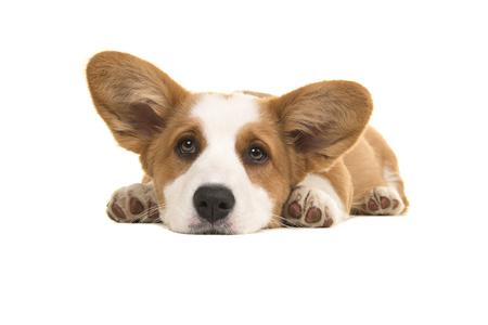 Marrón y blanco galés corgi pembroke cachorro tumbado en el suelo con la cabeza gacha mirando a la cámara aislada sobre un fondo blanco.