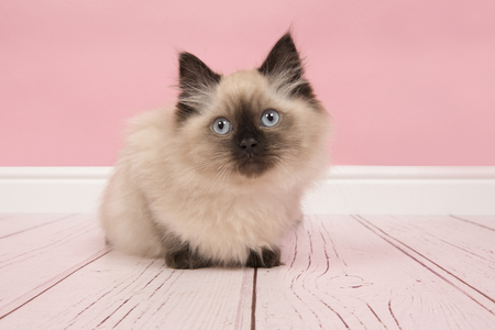 Cute rag doll cat with blue eyes in a pink studio living room setting