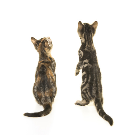 Two kitten cats seen on the back looking up isolated on a white background Stock Photo