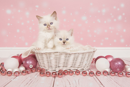 Two baby ragdoll cats in a basket with pink christmas decoration and snow for a christmas card Stock Photo
