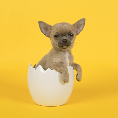 Cute chihuahua puppy dog in a white easter egg on a yellow background Stock Photo