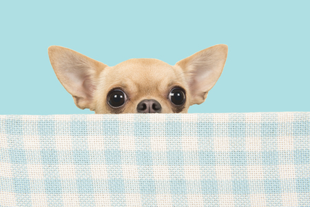 Cute chihuahua dog peeking over the edge of a blue and white checkered box on a blue background