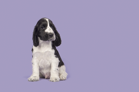 Black and white cocker spaniel dog sitting looking at the camera on a purple lavender background