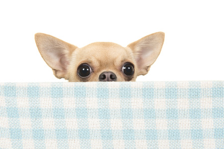 Cute chihuahua dog peeking over the edge of a blue and white checkered box on a white background Stock Photo