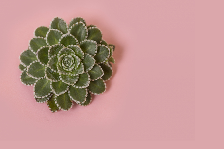 Single green succulent plant on a pink background Stock fotó