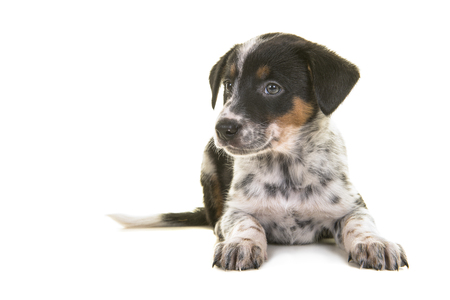 Cute australian shepherd australian cattle dog mix puppy lying down looking to the left on a white background Stock Photo