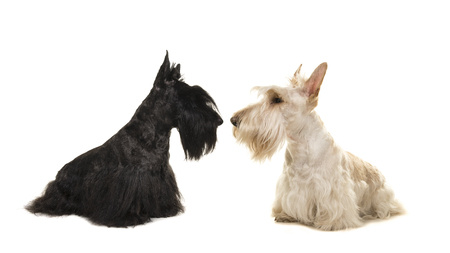 White an black scottish terrier seen from the side sniffing out eachother on a white background