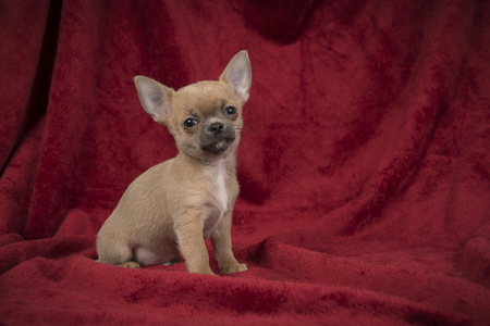 Cute chihuahua puppy dog sitting on a burgundy red velvet blanket