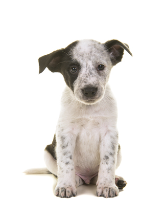 Cute australian shepherd australian cattle dog mix sitting and at the camera on a white background Banco de Imagens