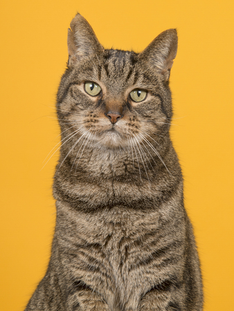 Portait of a male tabby cat with ripped ears on a yellow background in a vertical image