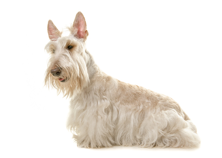 White scottisch terrier dog seen from the side isolated on a white background