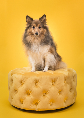 Shetland sheepdog sitting on a yellow pouf looking at the camera on a yellow background Kho ảnh