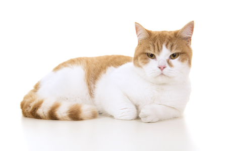 Red and white british shorthair cat seen from the side lying down on a white background Reklamní fotografie