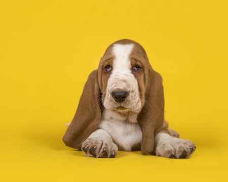 Cute tan and white basset hound lying down on a yellow background