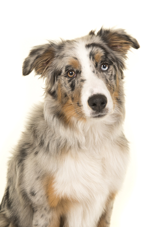 Portrait of a cute blue merle odd eyed australian shepherd dog looking at the camera on a white background
