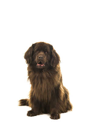 Sitting brown newfoundland dog looking at the camera isolated on a white background Banque d'images - 99624307