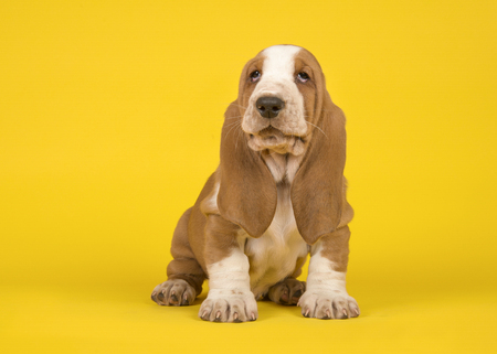 Adorable tan and white basset hound puppy dog sitting and looking up on an yellow background