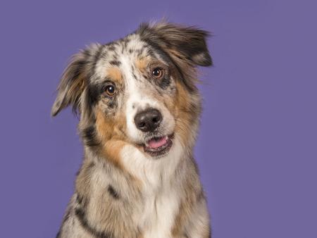 Portrait of a pretty australian shepherd dog on a purple background in a horizontal image