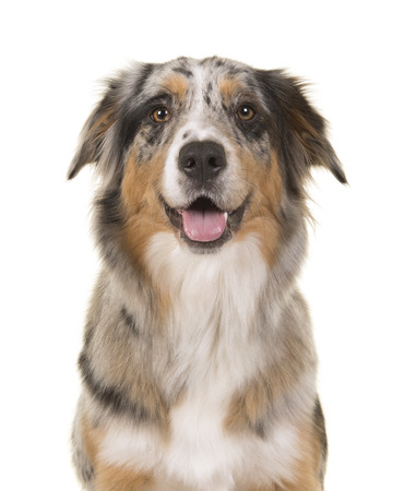 Portrait of a pretty blue merle australian shepherd dog looking straigth at the camera with open mouth on a white background Stock Photo