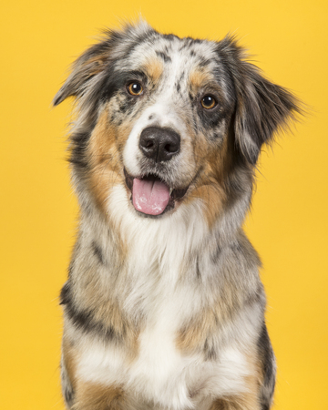 Portrait of a pretty blue merle australian shepherd dog on a yellow background