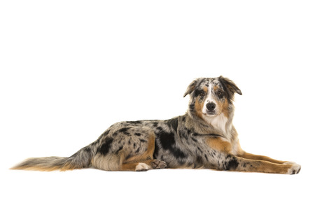 Pretty lying down blue merle australian shepherd dog seen from the side looking at the camera isolated on a white background