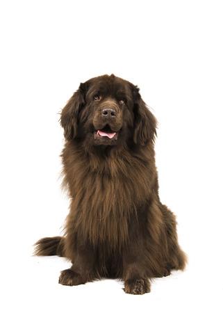 animal; pet; dog; newfoundlander; dog; sitting; mouth open; white background; isolated; canine; newfoundland; old; looking at camera; studio; purebred Archivio Fotografico