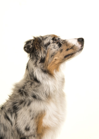 Portrait of a australian shepherd dog looking up seen from the side isolated on a white background Stock Photo
