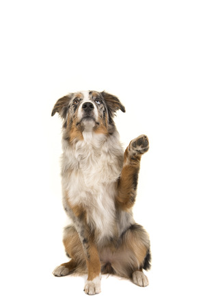 Odd eyed blue merle australian shepherd dog sitting looking up with its paw up isolated on a white background 版權商用圖片