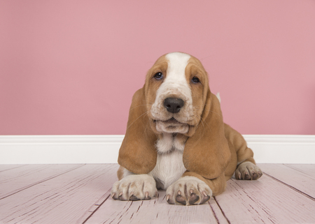 Cute tan and white basset hound puppy lying down seen from the front and looking at the camera in a pink living room setting
