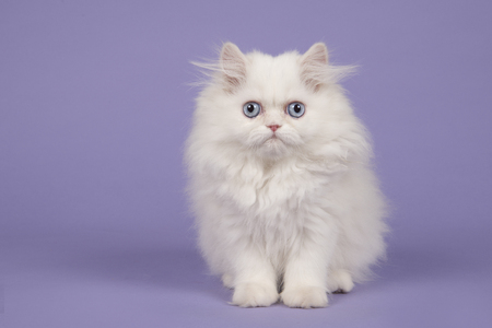 White persian longhair kitten with blue eyes sitting  on a purple background