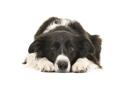 Border collie dog lying down with its head on the floor looking at the camera isolated on a white background