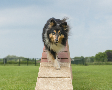 Shetland sheepdog walking on an agility dog walk seen from the front in a low angle Banco de Imagens