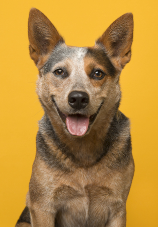 Cute australian cattle dog portrait smiling with open mouth looking at the camera on a yellow background Standard-Bild