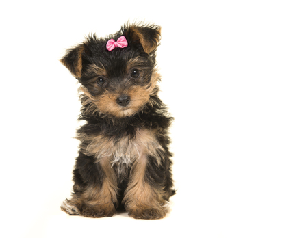 Cute sitting yorkshire terrier, yorkie puppy wearing a pink bow looking at the camera on a white background