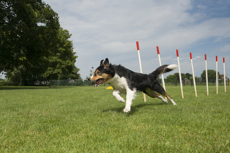 Border collie mix running through agility weave poles on a sunny day outdoors seen from a low angle