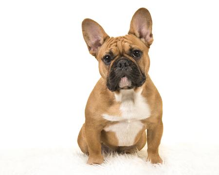 Braune französische Bulldogge, die auf einer weißen Pelzdecke sitzt, die Kamera auf einem weißen Hintergrund betrachtet
