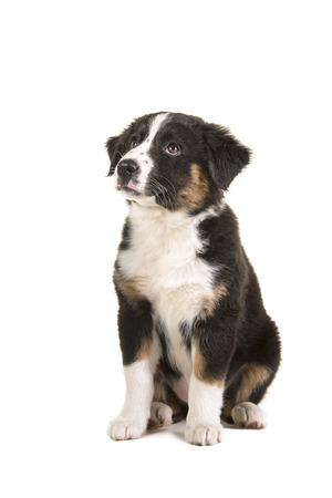 Cute black australian shepherd puppy sitting looking up isolated on a white background Banque d'images - 108669677
