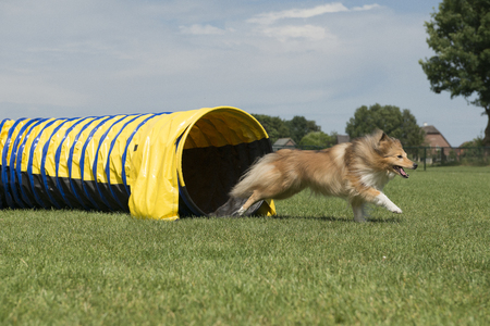 Shetland sheepdog running out of an agility tunnel with speed on a sunny day seen from the side