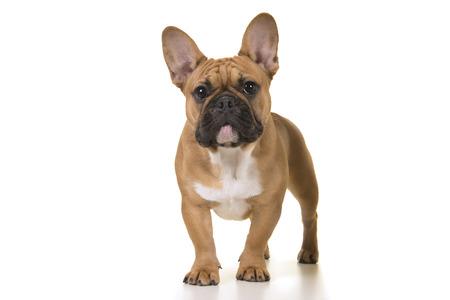 Erwachsene französische Bulldogge, die Kamera auf einem weißen Hintergrund betrachtet Standard-Bild