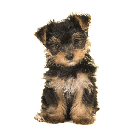 Cute sitting yorkshire terrier, yorkie puppy looking at the camera on a white background Stock Photo - 108735715