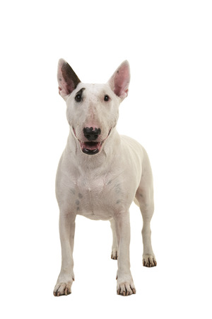 Standing bull terrier seen from the front looking at the camera isolated on a white background