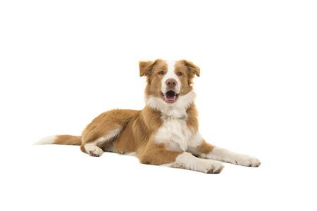 Perro border collie rojo acostado mirando a la cámara con la boca abierta sobre un fondo blanco visto desde el lado