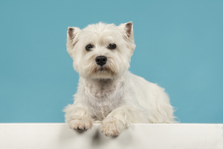 Cute sitting west highland white terrier or westie lying down looking at the camera on a blue background Imagens