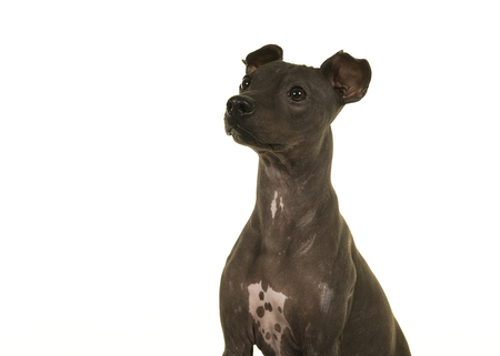 Portrait of an American Hairless Terrier isolated on a white background Stockfoto