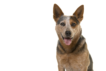 Portrait of a smiling australian cattle dog looking straight into the camera isolated on a white background with space for copy