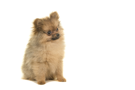 Pomeranian puppy dog sitting isolated on a white background seen from the side looking to the right Foto de archivo