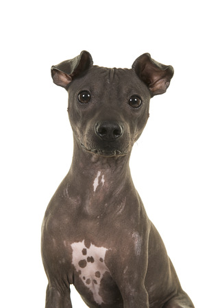Portrait of an American Hairless Terrier looking at the camera isolated on a white background