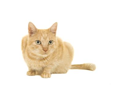 Gato rojo acostado mirando a otro lado aislado sobre un fondo blanco. Foto de archivo